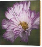 Pink And White Ruffled Cosmos Wood Print