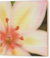 Pink And Yellow Lily 1 Wood Print