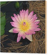 Pink And Yellow Water Lily Wood Print