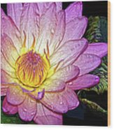 Pink And Yellow Waterlily Wood Print