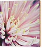 Pink Chrysanthemum Wood Print