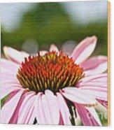 Pink Cone Flower Wood Print