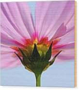 Pink Cosmos Wood Print by Rich Franco