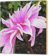 Pink Dahlia Wood Print by M C Sturman