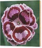 Pink (dianthus 'becky Robinson') Wood Print