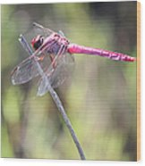 Pink Dragonfly In The Marsh Wood Print