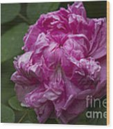 Pink English Rose Wood Print