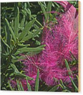 Pink Feather Wood Print
