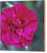 Pink Flower (dianthus 'carlotta') Wood Print