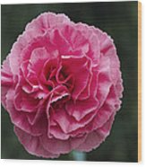 Pink Flower (dianthus 'clare') Wood Print