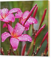 Pink Fluted Hibiscus In The Monsoons Wood Print