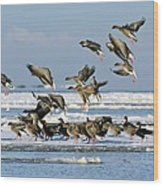 Pink-footed Geese On An Ice Floe Wood Print