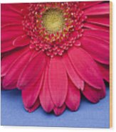 Pink Gerbera Daisy On Blue Background Wood Print