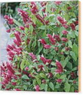 Pink Shrimp Plant Wood Print