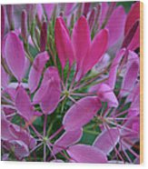 Pink Spider Flower Wood Print