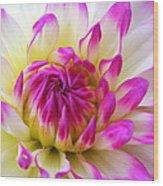 Pink Tinged Dahlia Wood Print