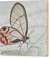 Pink-tipped Clearwing Satyr Cithaerias Wood Print
