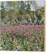 Pink Tulips And Blossom 1 Wood Print