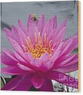 Pink Water Lily Rose Arey With Bee Wood Print