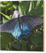 Pipevine Swallowtail Din003 Wood Print