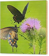 Pipevine Swallowtails In Tandem Wood Print