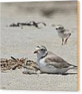 Piping Plover Mom And Two Babies Wood Print