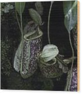 Pitcher Plant Inside The National Orchid Garden In Singapore Wood Print
