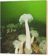 Plumose Sea Anemones, Alaska, Usa Wood Print