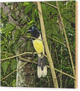 Plush-crested Jay Wood Print