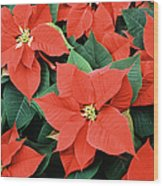 Poinsettia Varieties Wood Print