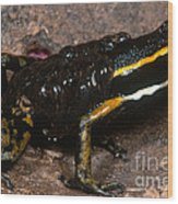 Poison Arrow Frog With Tadpoles Wood Print