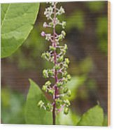 Poke Sallet Blossom Spire - Phytolacca Acinosa  Wood Print