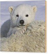 Polar Bear Cub Canada Wood Print