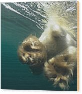 Polar Bear Swiming Away Wager Bay Canada Wood Print