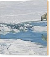 Polar Bear, Ursus Maritimus Wood Print by Ralph Lee Hopkins