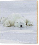 Polar Bear Ursus Maritimus Resting Wood Print