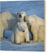 Polar Bear With Cubs Wood Print
