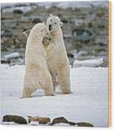 Polarbears, Churchill, Manitoba Wood Print