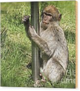 Pole Dancing Macaque Style Wood Print