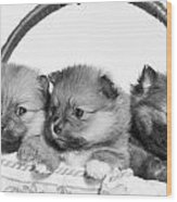 Pomeranian Wood Print