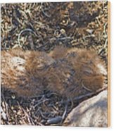 Poorwill Chicks Wood Print