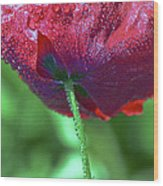 Poppy And Dewdrops Wood Print