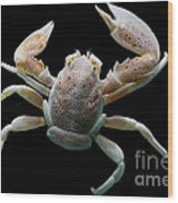 Porcelain Crab Wood Print