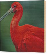 Portrait Of A Captive Scarlet Ibis Wood Print