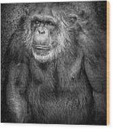 Portrait Of A Chimpanzee Wood Print