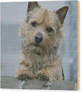 Portrait Of A Norwich Terrier Wood Print