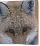 Portrait Of Adult Red Fox Wood Print