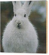 Portrait Of An Arctic Hare Wood Print