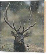 Portrait Of An Elk Or Wapiti Wood Print by Norbert Rosing