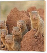 Portrait Of Seven Dwarf Mongooses Wood Print by Roy Toft